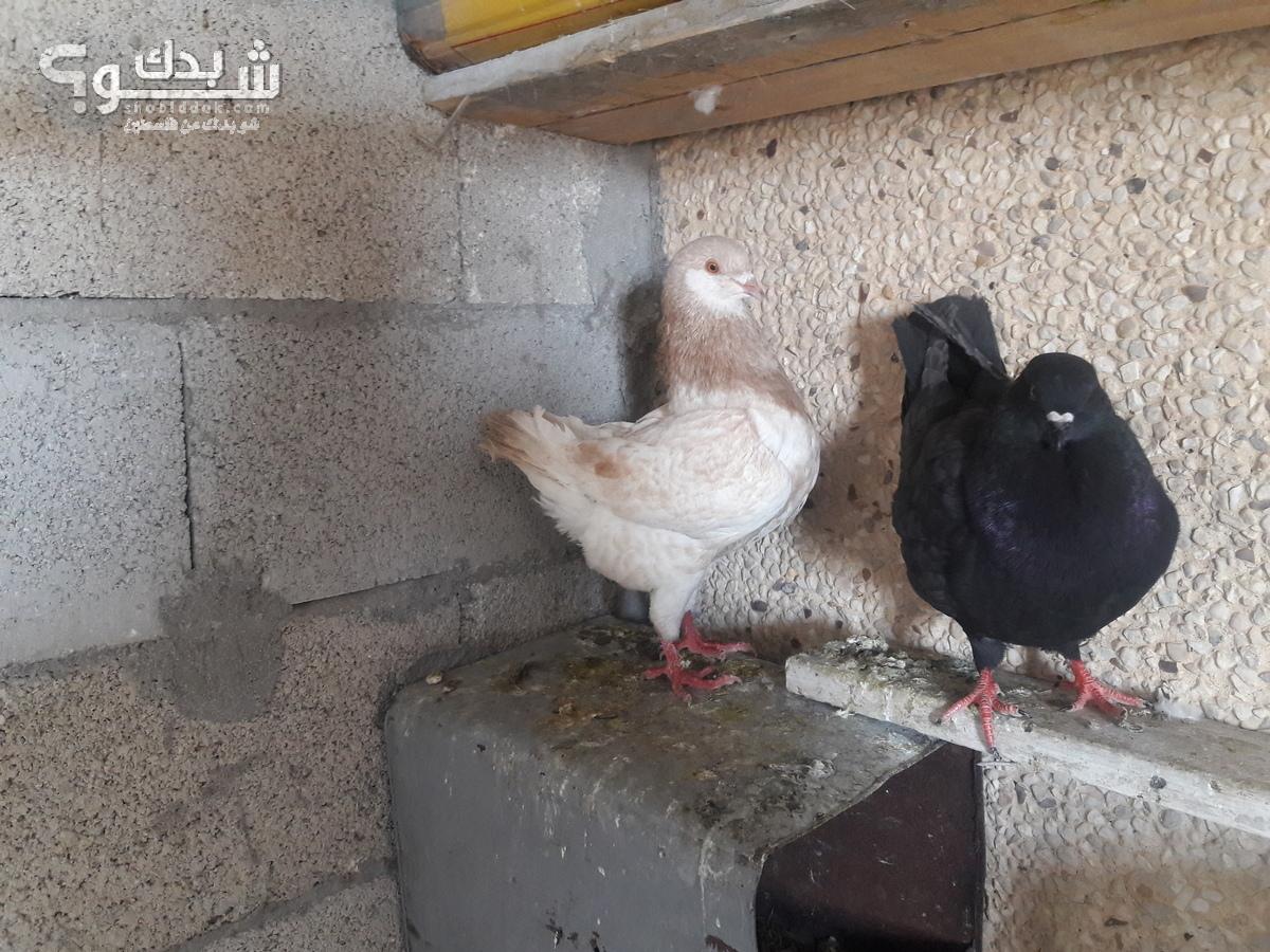c6fbbb46a حمام كينج   شو بدك من فلسطين؟