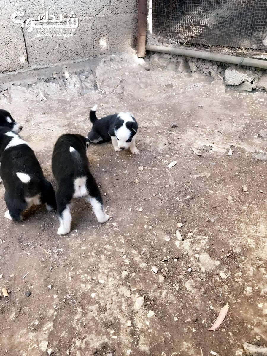 وارد بساطة الثلاثاء كلاب للبيع في اسرائيل - psidiagnosticins.com