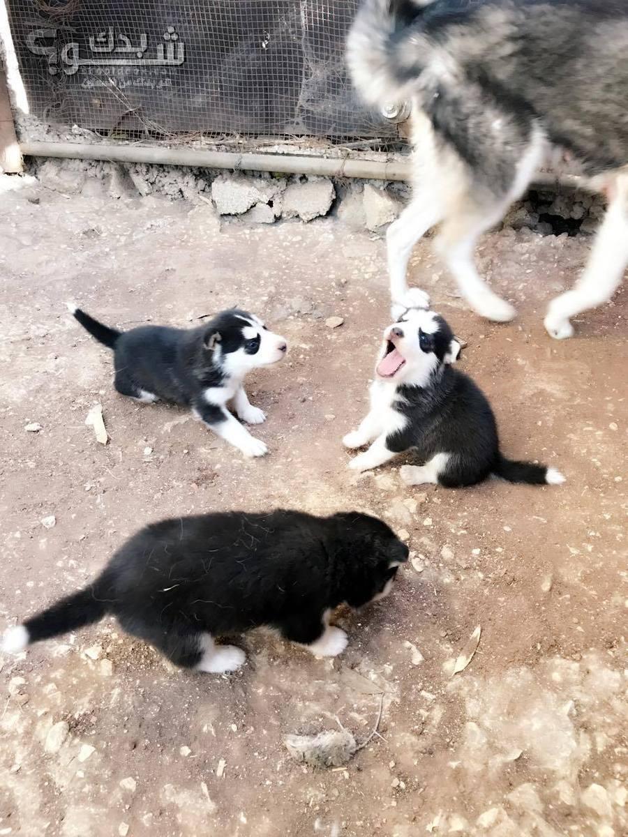 كلاب هاسكي أصلي عمر 21 يوم للبيع | شو بدك من فلسطين؟